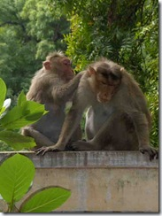 monkeys grooming each other