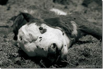 dead-calf